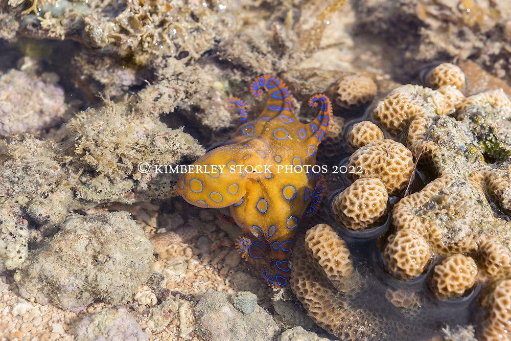 A Blue Ringed Octopus on Turtle Reef in Talbot Bay on the Kimberley coast.