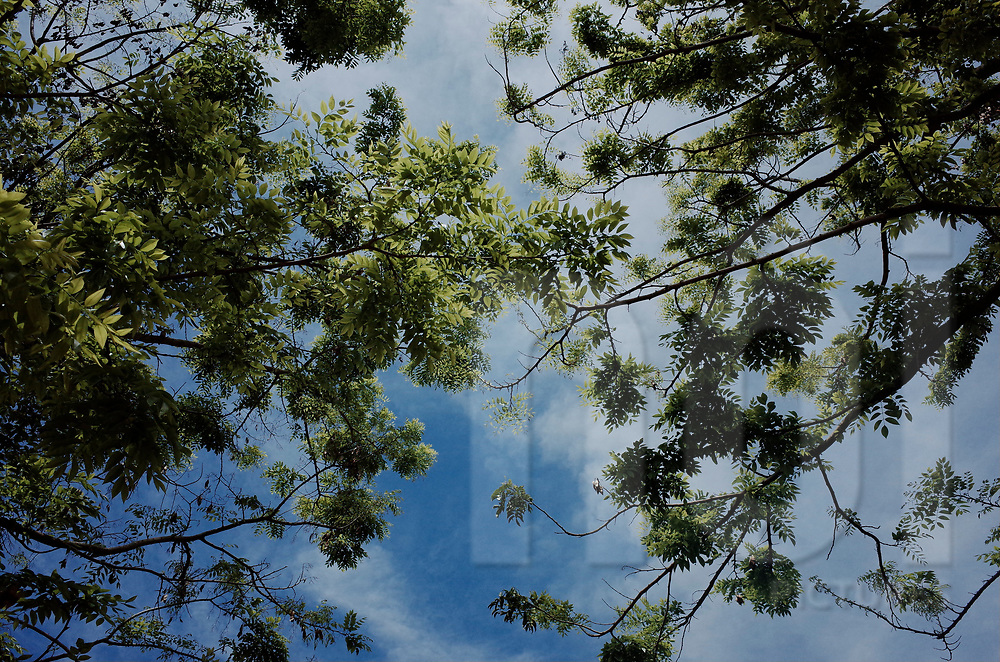 Worm's eye view of a tree foliage, Vietnam, Southeast Asia