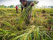 11 NOVEMBER 2014 - SITTWE, MYANMAR: Men harvest rice in a paddy on the edge of Sittwe, Myanmar. The rice was destined for the export market. Myanmar used to be the world's leading rice exporter when it was the British colony of Burma. Recent market and political reforms have reenergized the agricultural sector and Myanmar is once again becoming a serious player on the world rice markets.   PHOTO BY JACK KURTZ