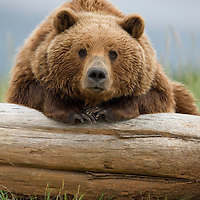 USA, Alaska, Katmai National Park, Brown Bear (Ursus arctos) resting on beached log in meadow along Hallo Bay