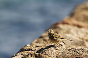 Meadow pipit with head up and beak slightly open, while on a breakwater at Dawlish, on the South Devon coast.