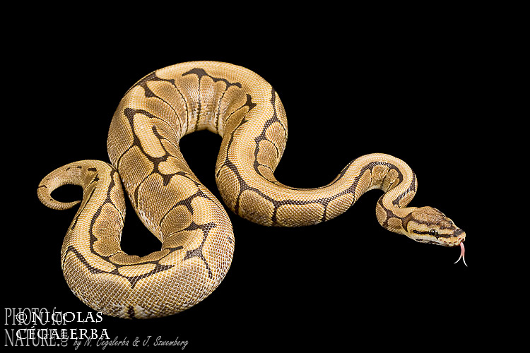 Python regius forme Spider