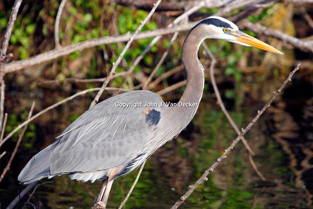 Great Blue Heron in breeding plumage, Everglades National Park, Florida