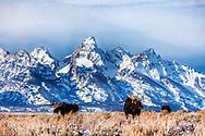 Three Bull  Moose, Grand Teton Mountains, Grand Teton Natonal Park
