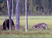 Grey wolf meets brown bear in Eastern Finland.