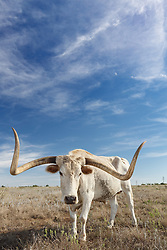 Texas longhorn steer from Official State of Texas Longhorn Herd standing near Fort remnants,, Fort Griffin State Historic Site, Albany, Texas USA.