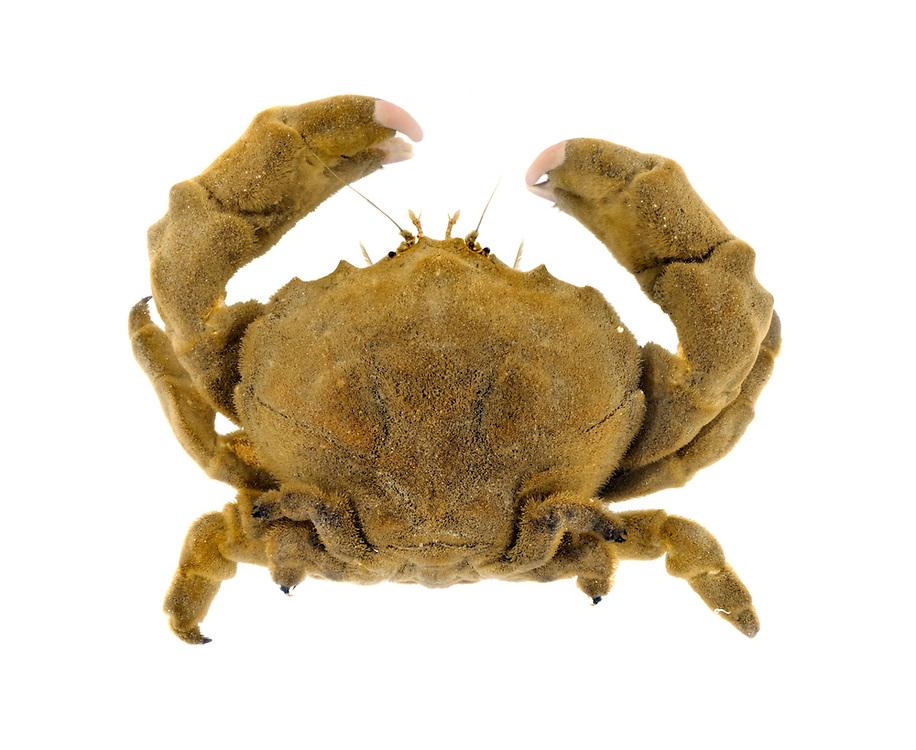 Sponge Crab - Dromia personata