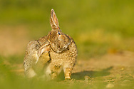 European Rabbit (Oryctolagus cuniculus)  adult scratching ear on edge of wheat field, South Norfolk, England, May.