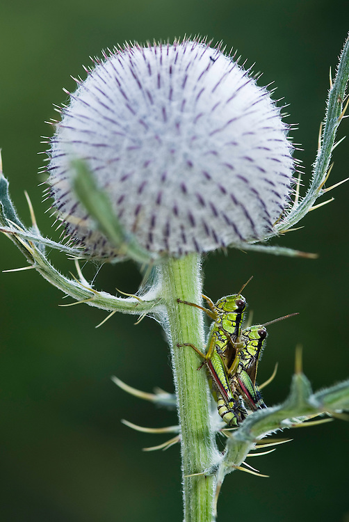 Alpine grashopper (Miramella alpina) on a thistle<br /> Triglav National Park, Slovenia<br /> August 2009