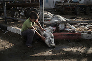 Gaza Strip, Jabalia refugee camp: A Palestian child is seen as he strokes a badly injured by shelling donkey are in front at the UNRWA (United Nations Relief and Work Agency) Jabalia refugee camp school on July 30, 2014. ALESSIO ROMENZI