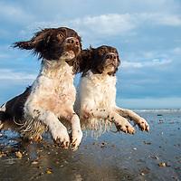 Springer Spaniel Dogs
