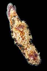 (Glossodoris cincta)