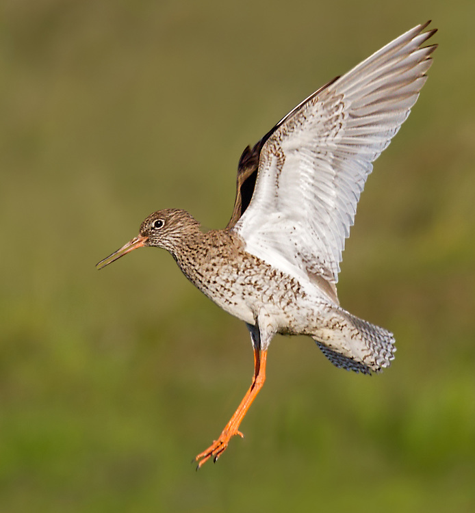 Common Redshank on a fjord near Aukerari.