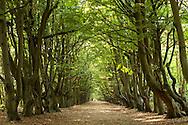 Europe, Netherlands, beech alley at the nature reserve de Manteling near Oostkapelle on the peninsula Walcheren.<br /> <br /> Europa, Niederlande, Buchenallee im Naturschutzgebiet de Manteling bei Oostkapelle auf Walcheren.