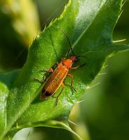 HALFWEG - insecten op de golfbaan , soldaatje, Amsterdamse Golf Club. (AGC)  . Insecteninventarisatie  COPYRIGHT KOEN SUYK