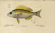 Maena from Histoire naturelle des poissons (Natural History of Fish) is a 22-volume treatment of ichthyology published in 1828-1849 by the French savant Georges Cuvier (1769-1832) and his student and successor Achille Valenciennes (1794-1865).