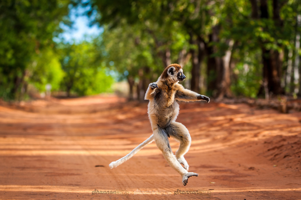 Verreaux's sifaka photographed in the Berenty Reserve of Madagascar.