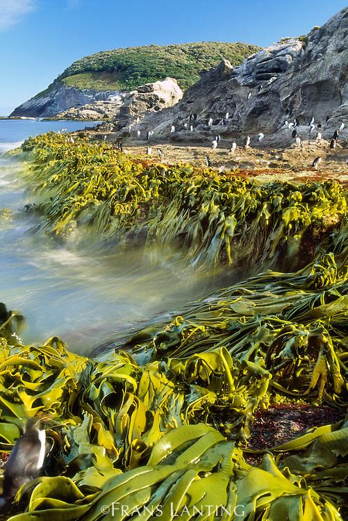 Surf, kelp, and Snares crested penguins, Eudyptes robustus, Snares Islands, New Zealand