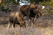 Bull and Cow Moose (Alces alces) near Allenspark, Colorado
