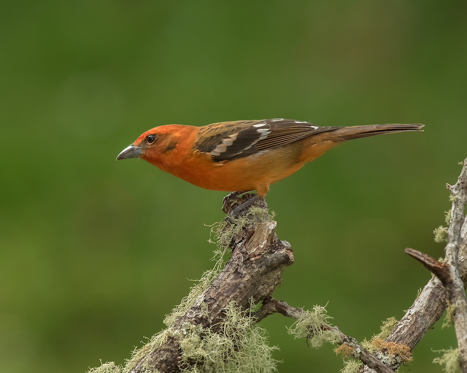 Male Flame-colored tanager (Piranga bidentata), Costa Rica