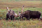 Bull Moose fresh out of velvet sparring before rut