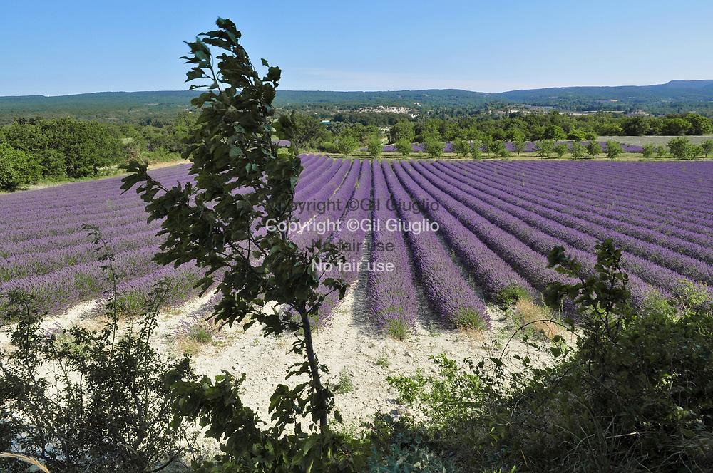 France, Auvergne-Rhône-Alpes, Drôme (26), route de la lavande région de Valréas // France, region of Auvergne Rhone Alpes, department of Drome, lavender road area of Valreas
