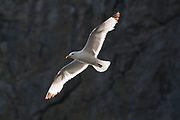 Kittiwake (Rissa tridactyla) backlit by sun against coastal cliffs. Dorset, UK.