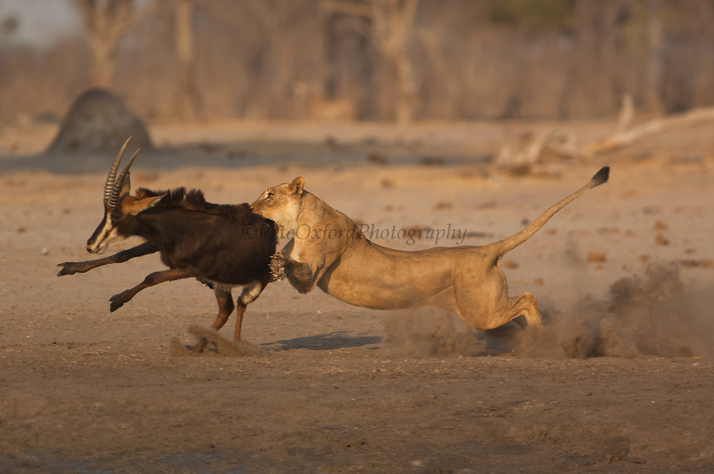 Lioness (Panthera leo) catching a sable that was drinking at the waterhole.<br /> Makalolo Plains. Hwange National Park. ZIMBABWE. Southern Africa<br /> HABITAT: Found in most habitats and healthy populations exist in the National Parks and protected areas.  Generally though their numbers are in decline due to human pressure.