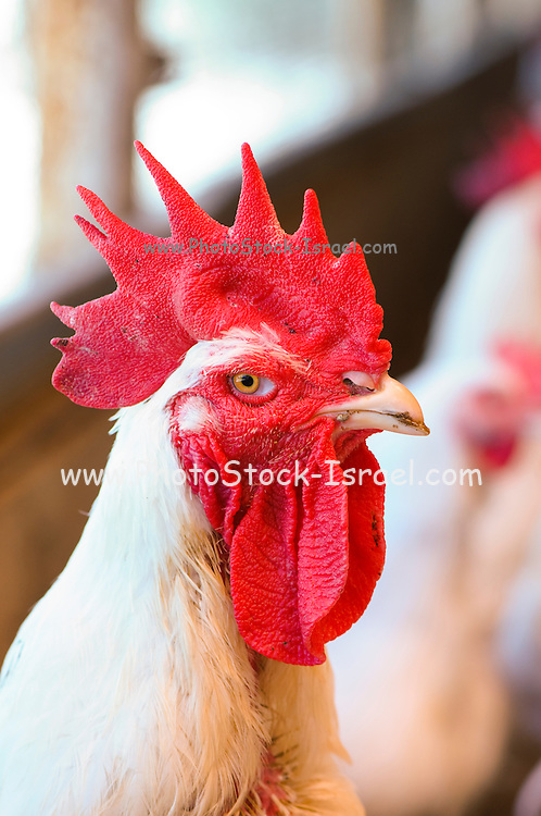 White Rooster with red crest