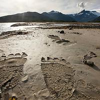 USA, Alaska, Katmai National Park, Paw prints left by Coastal Brown Bear (Ursus arctos) left in tidal mud flats along Kukak Bay