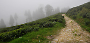 A tea plantation in Darjeeling, West Bengal, India