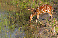 Spotted Deer or Chital, Axis axis