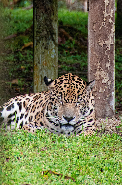 The Zoo de Guyane, or Zoo of French Guiana, is one of the regions top tourist attractions and contains animals and plants from the French region in South America
