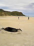 A New Zealand or Hooker's Sea Lion (Phocarctos hookeri) rests, sleeps on Sandfly Beach, Otago Peninsula, near Dunedin, New Zealand.