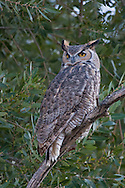 A great horned owl sits on a tree branch at dusk, surveying the area for potential prey.