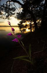 Red Helleborine (Cephalanthera rubra) in Norway