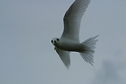 White Fair Tern, Gygii alba, Ducie Island, Pitcairn Group<br />