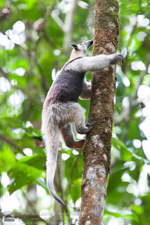 Northern Tamandua  or anteater (Tamandua mexicana) climbs a tree in search for food within the rainforest of Corcovado National Park, Costa Rica