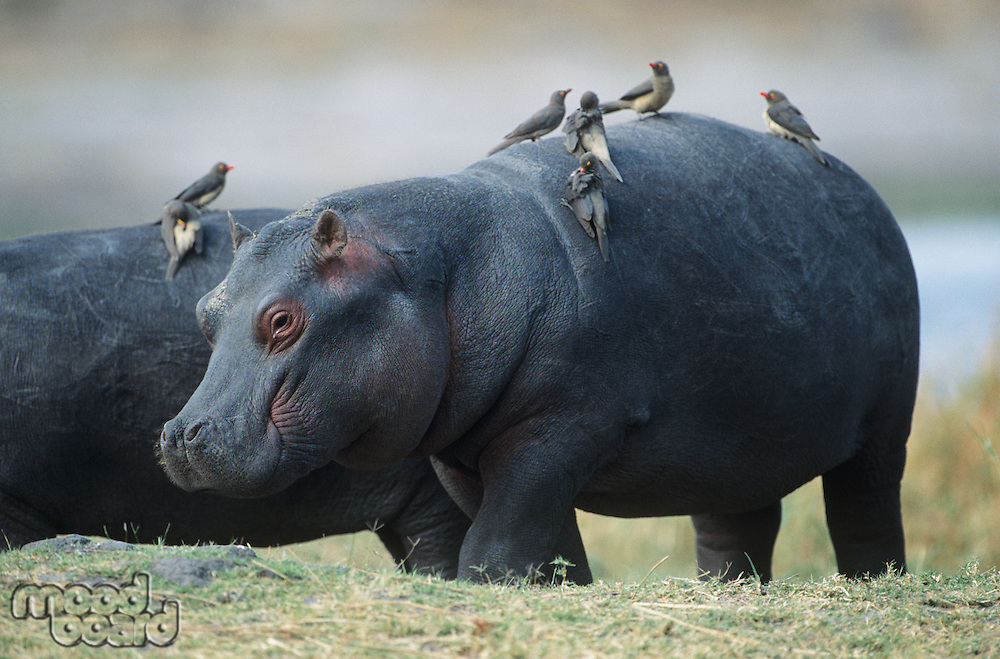 Hippopotamus (Hippopotamus Amphibius) with birds on back