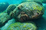 Octopus-Poulpe (Octopus vulgaris), Pico Island, Azores Archipelago.