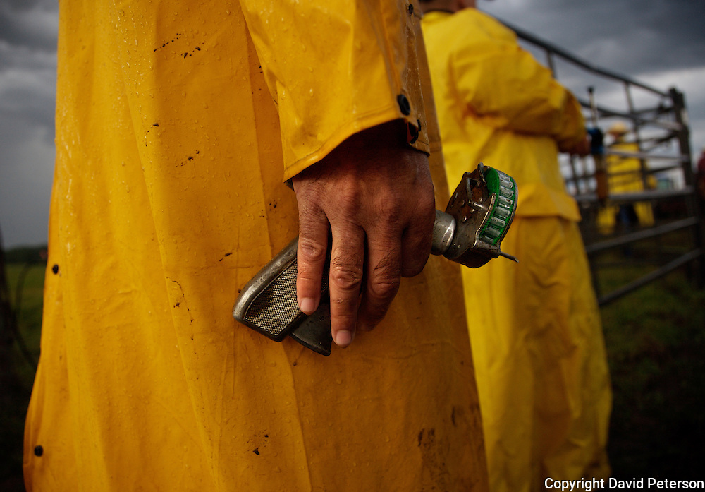 Cowboys put on yellow raincoats during a morning roundup at the Bar B ranch near Albia, Iowa, in August of 2008.  Stormy weather didn't slow down the operation which included implanting a growth stimulant in the ear of each newborn calf.  A ranch hand holds the tool used for that purpose.