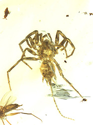 February 6, 2018  - China - Photo provided by the Nanjing Institute of Geology and Paleontology under the Chinese Academy of Sciences shows the specimen of the Chimerarachne..Two teams of Chinese scientists have begun study of a species of spider with a long tail, which is found in amber at least 100 million years old. The Chimerarachne found in Myanmar fills a gap in the evolution of the spiders. (Credit Image: © Xinhua via ZUMA Wire)