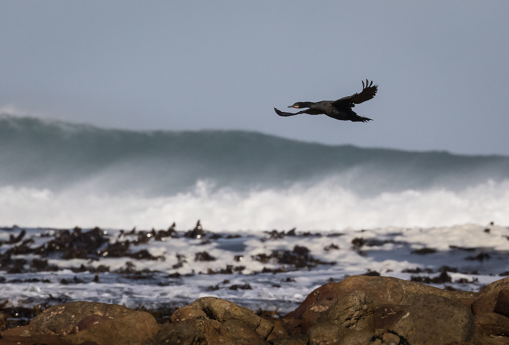 Phalacrocorax capensis, South Africa