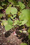 Young beet in ground grows in the garden of a Master Gardener