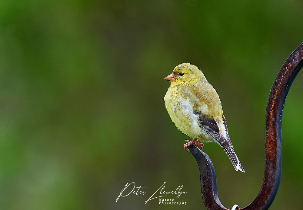 Female American Goldfinch (Carduelis tristis) perched  Cherry Hill, Nova Scotia, Canada