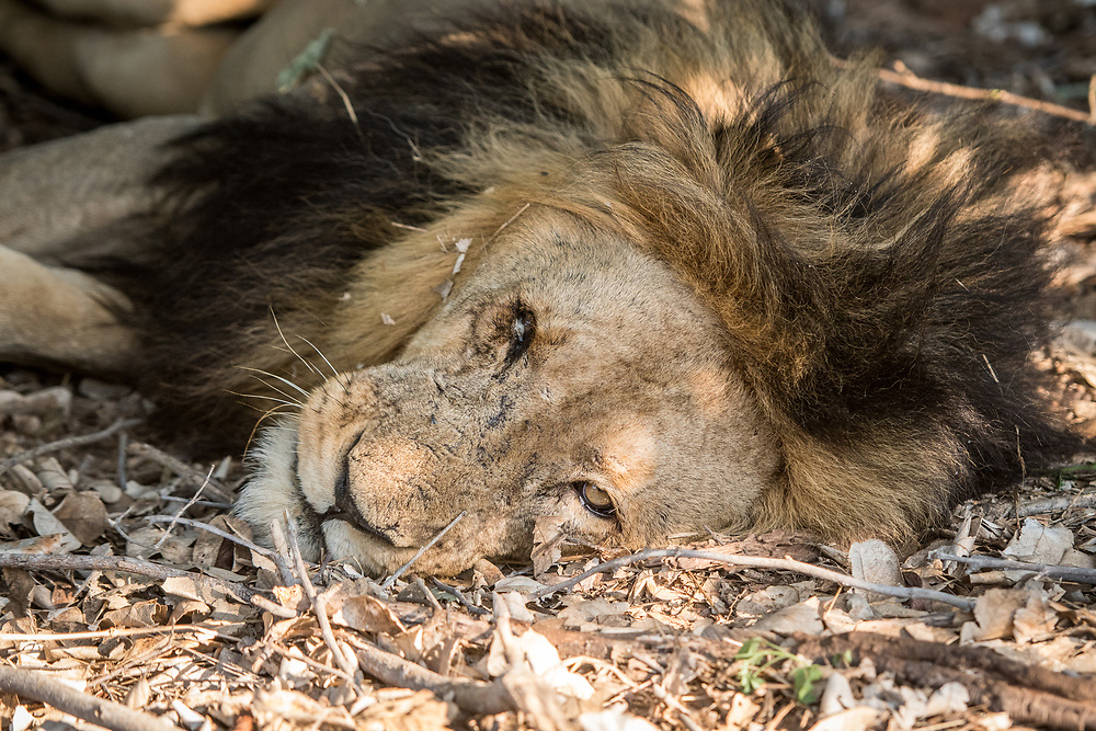 A large male Southern African lion (Panthera leo melanochaita) lying under the shade of some trees takes a nap. Chobe National Park - Botswana
