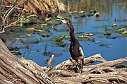 USA, Florida, Everglades National Park, Anhinga Trail,  Anhinga (Anhinga anhinga)