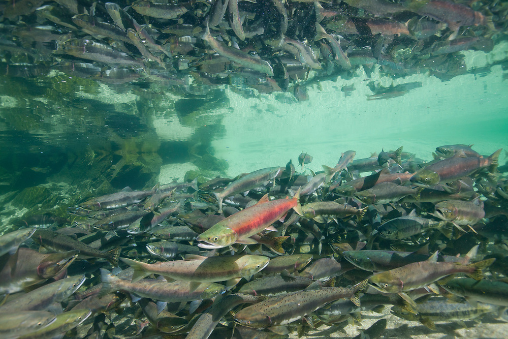 USA, Alaska, Katmai National Park, Underwater view of spawning Chum Salmon (Oncorhynchus keta) and Red Salmon (Oncorhynchus nerka) in stream near Kuliak Bay in late summer.