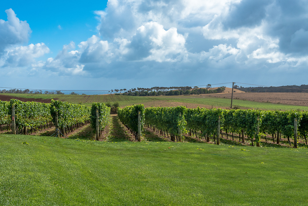 Rows of grapes growing in a small vineyard in Tasmania, Australia.