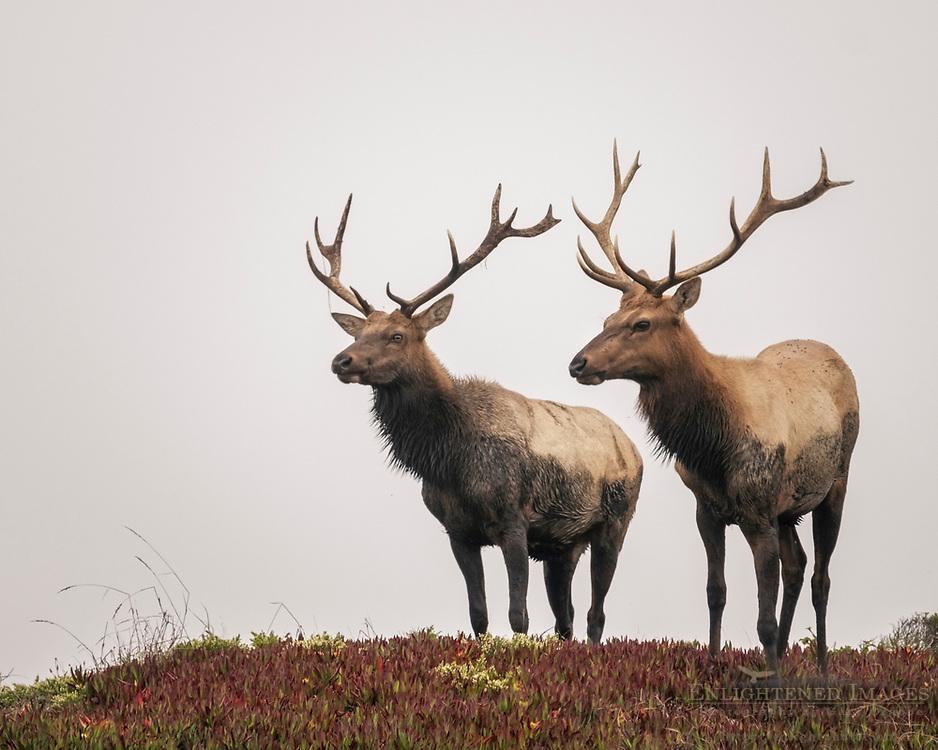Bull elk at Point Reyes National Seashore, Marin County, California